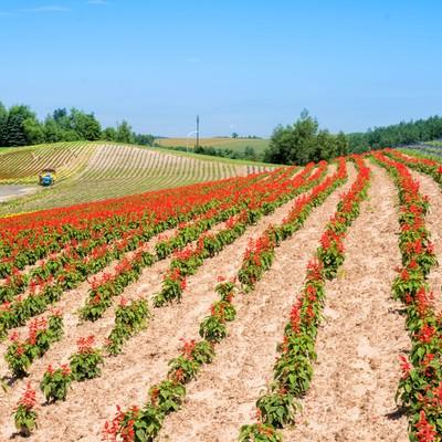 美瑛町に広がる花丘の写真