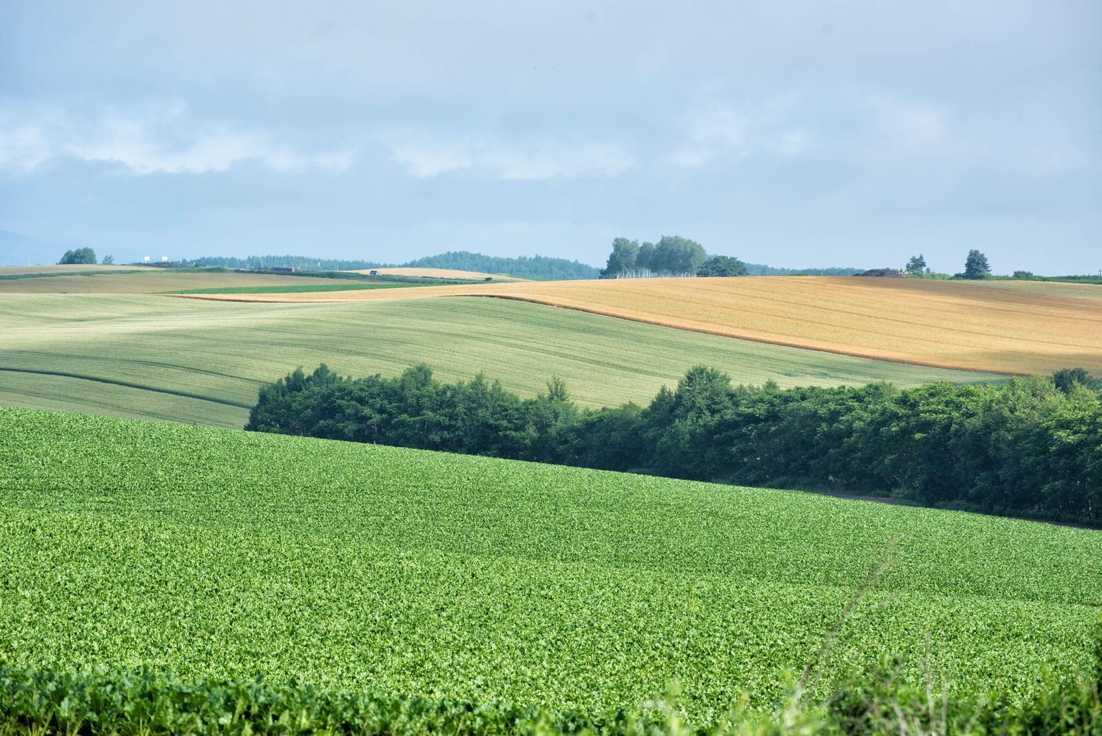 「美瑛町の広大な畑」の写真