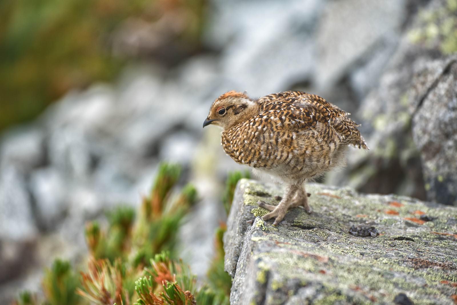 「岩場を行き来するライチョウの雛鳥」の写真