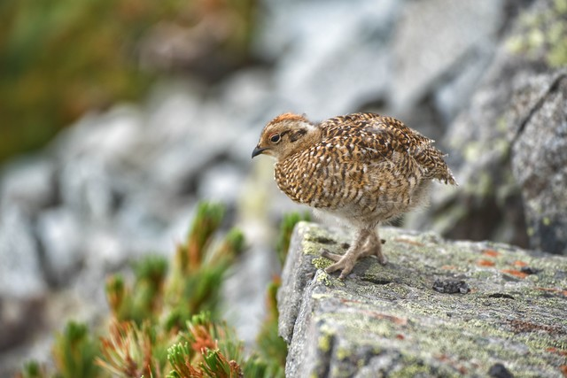 岩場を行き来するライチョウの雛鳥の写真