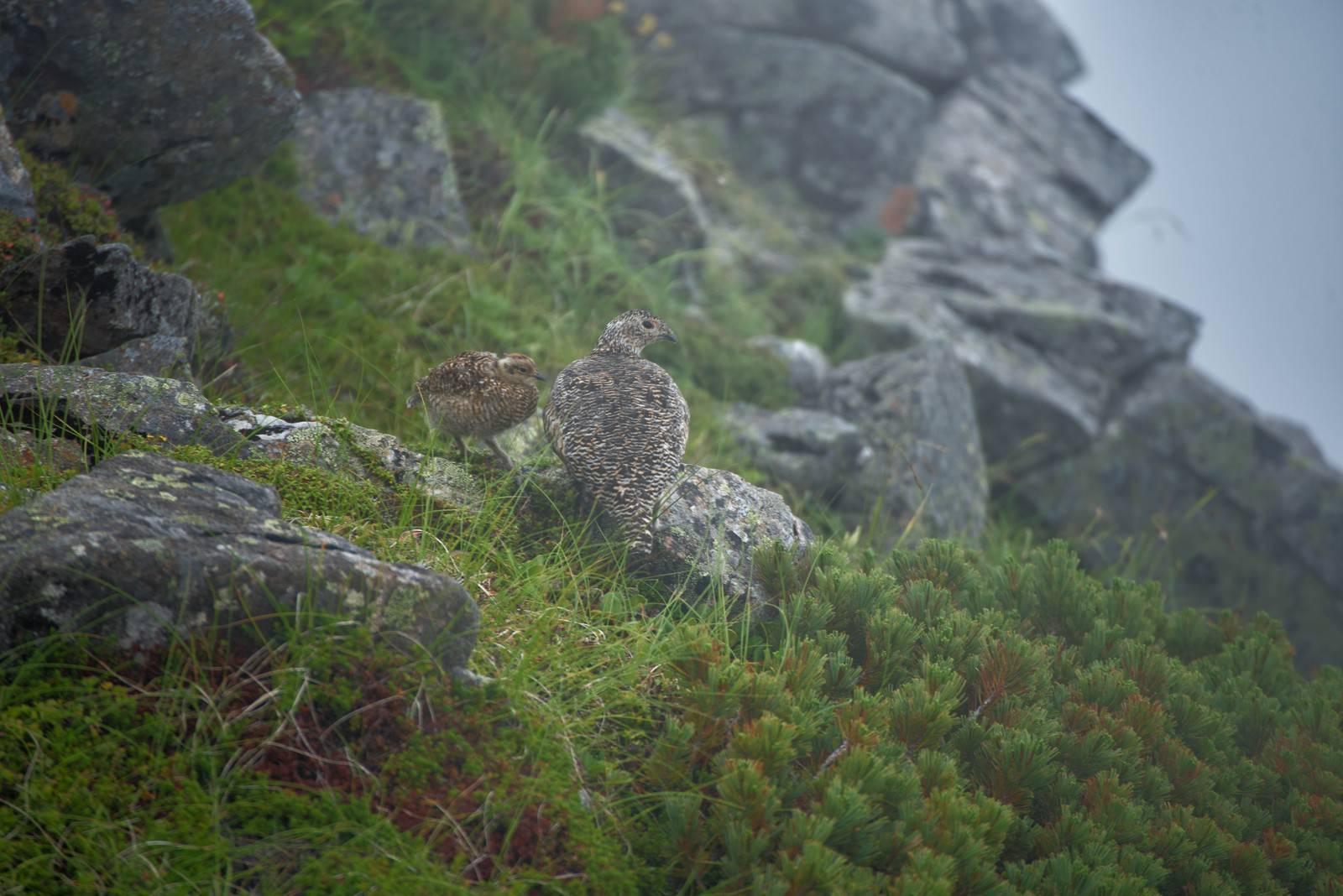 「霧に包まれる雷鳥の親子」の写真