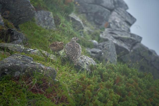 霧に包まれる雷鳥の親子の写真