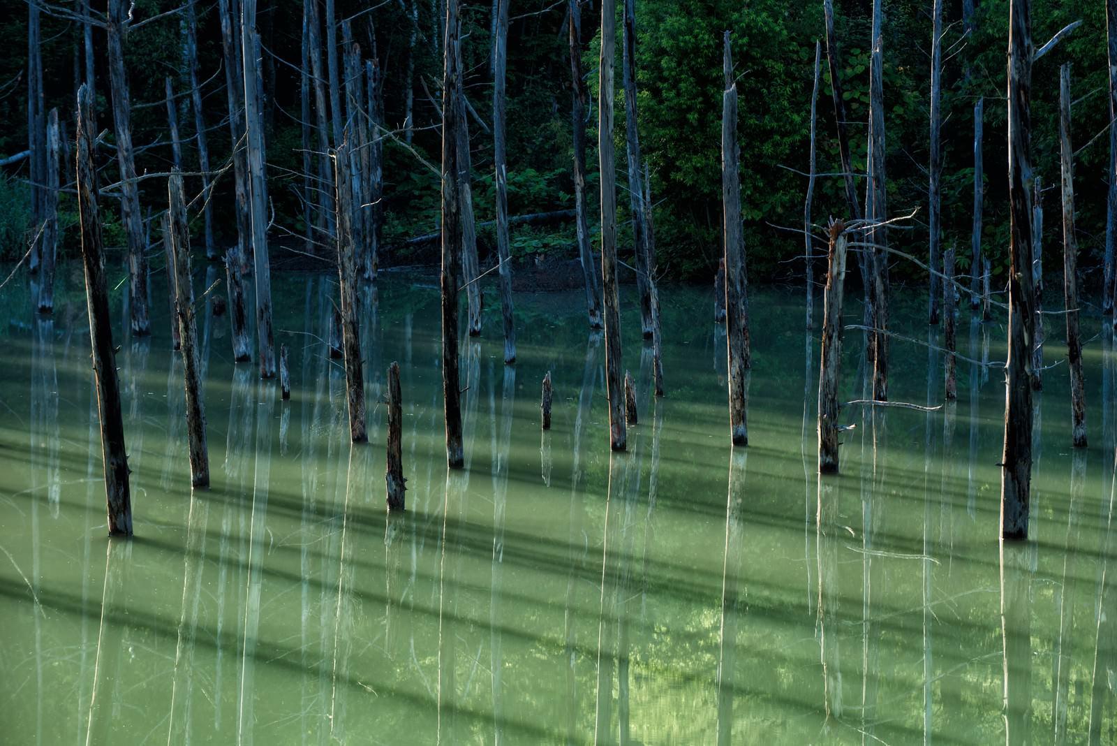 「青池の立ち枯れた木々が映る湖面」の写真