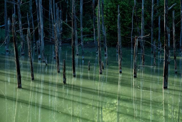 青池の立ち枯れた木々が映る湖面の写真
