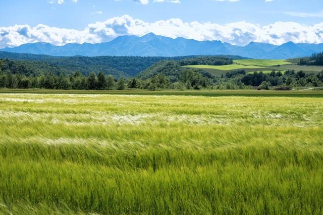 風になびく一面の麦畑の写真