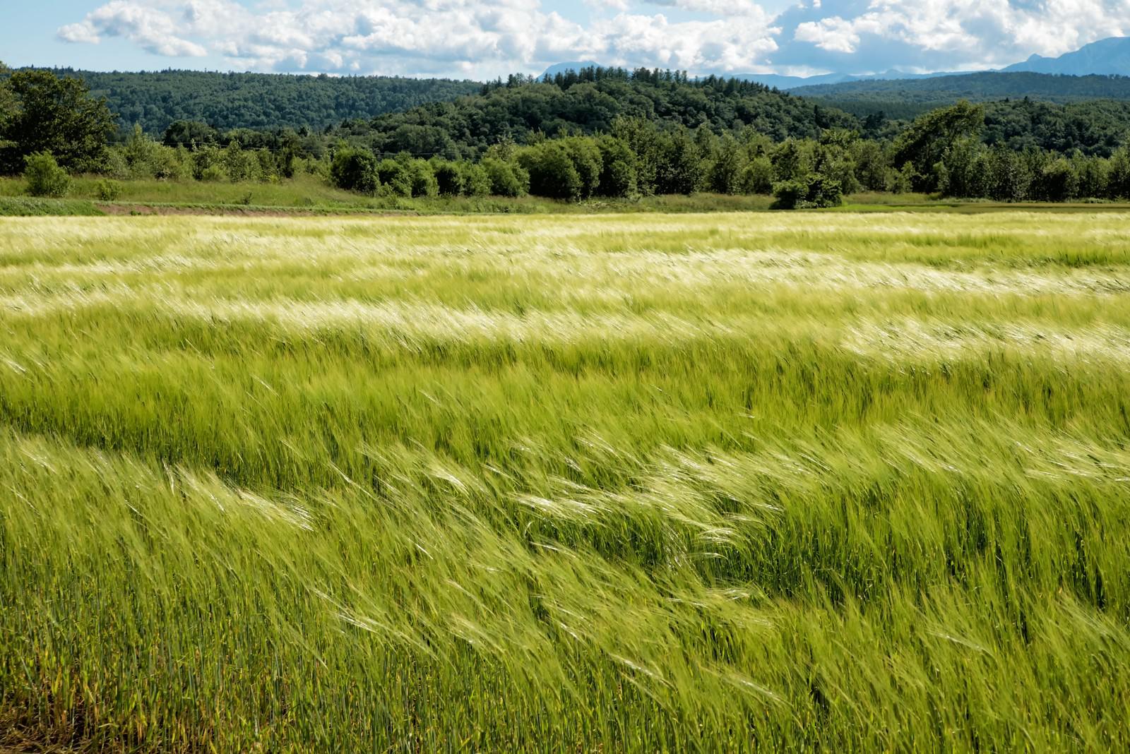 「風に踊る麦畑」の写真