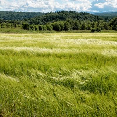 風に踊る麦畑の写真