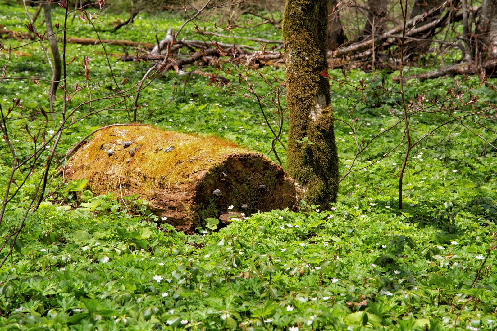 「苔生す倒木と咲き乱れるニリンソウ」の写真