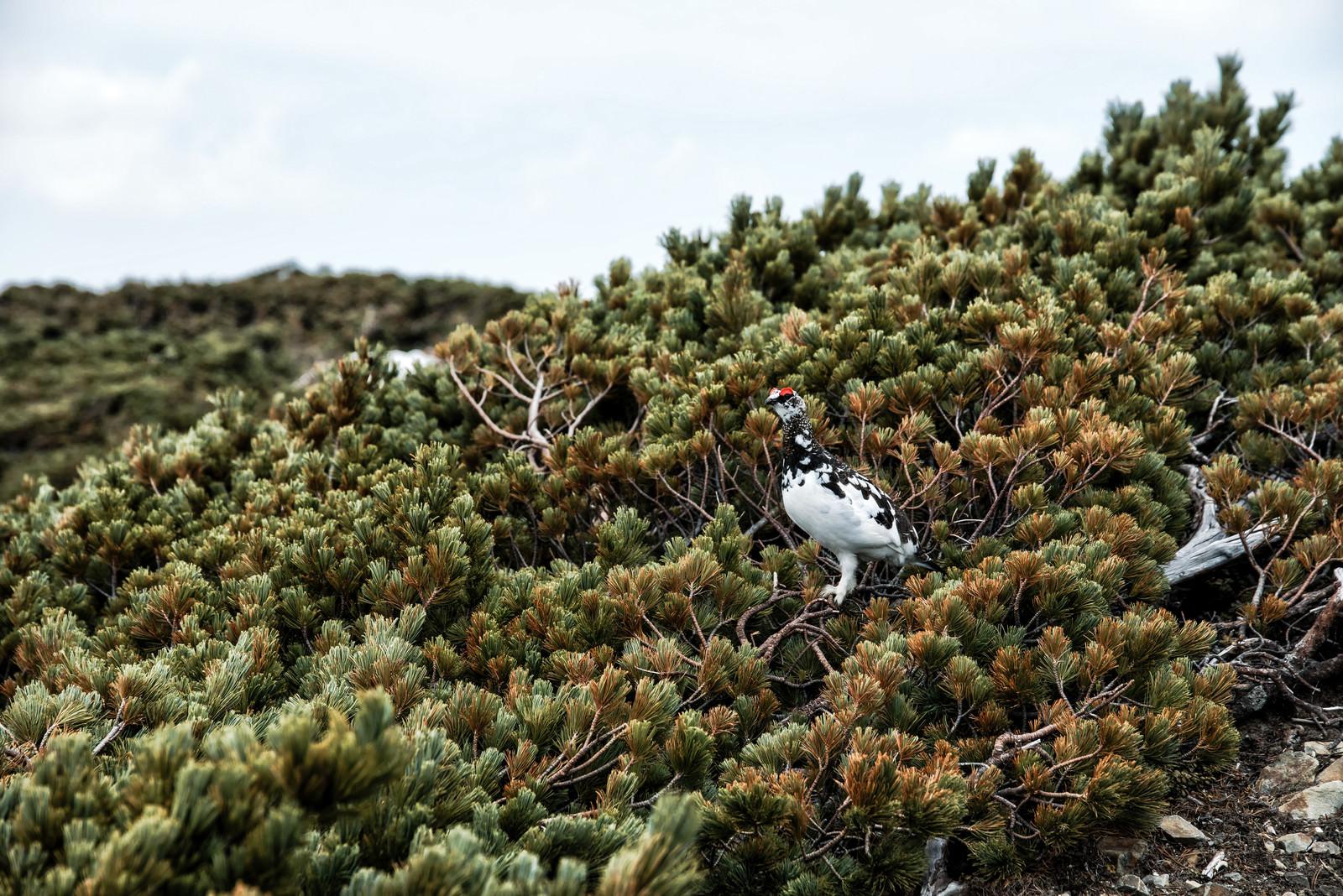 「ハイマツと白い毛の雷鳥」の写真