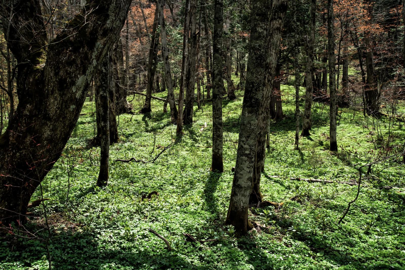 「春を迎えた上高地の森」の写真