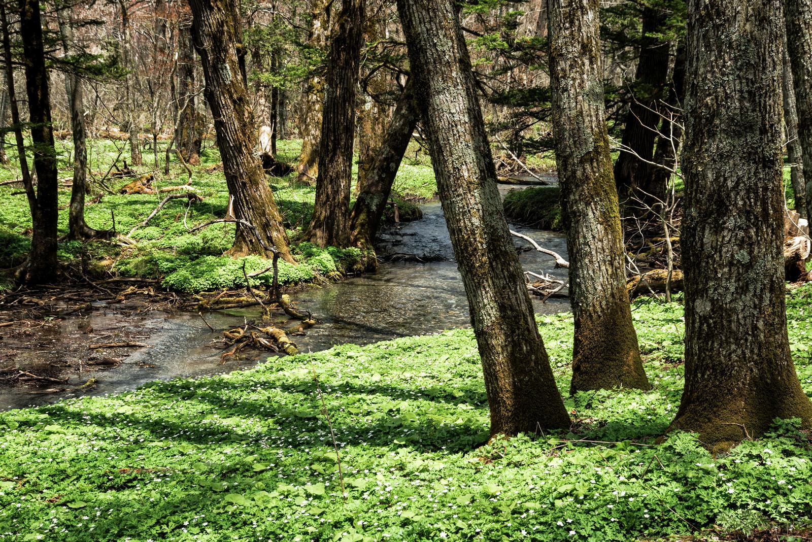 「上高地の湿原を流れる小川」の写真