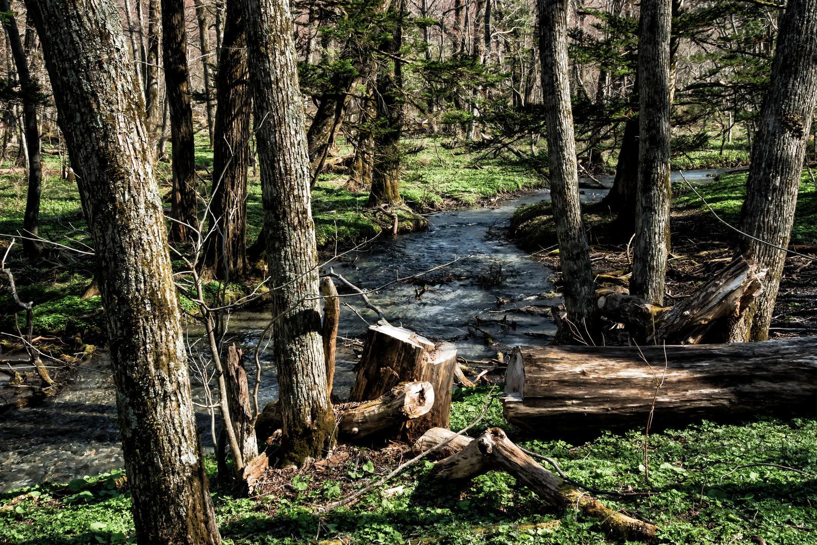 「上高地の森の中を流れる沢」の写真
