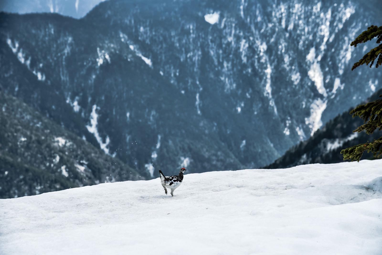 「雪渓を走り抜ける雷鳥」の写真