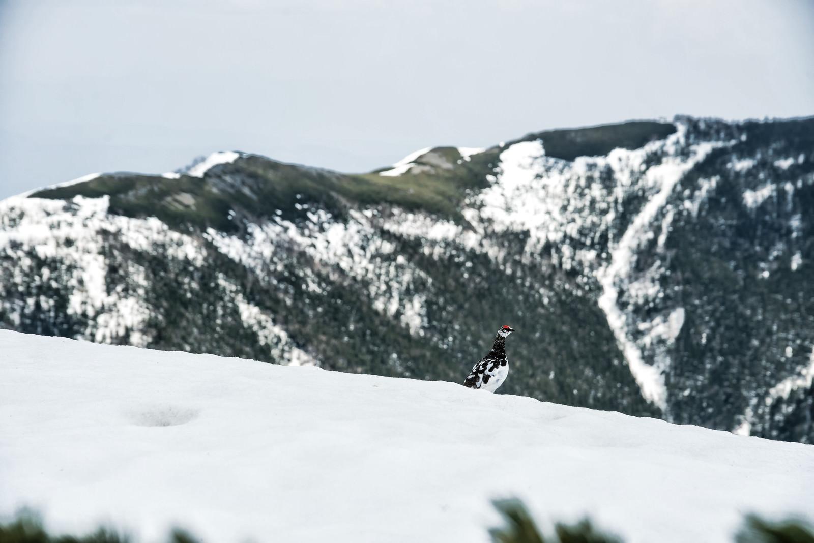 「蝶ヶ岳山頂にいたひょっこり雷鳥」の写真