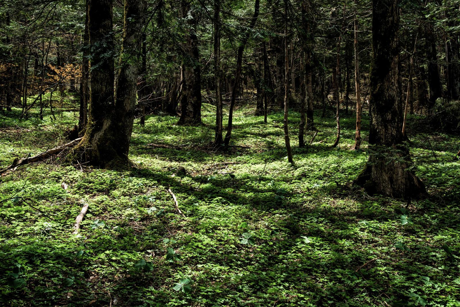 「上高地にある森の風景」の写真