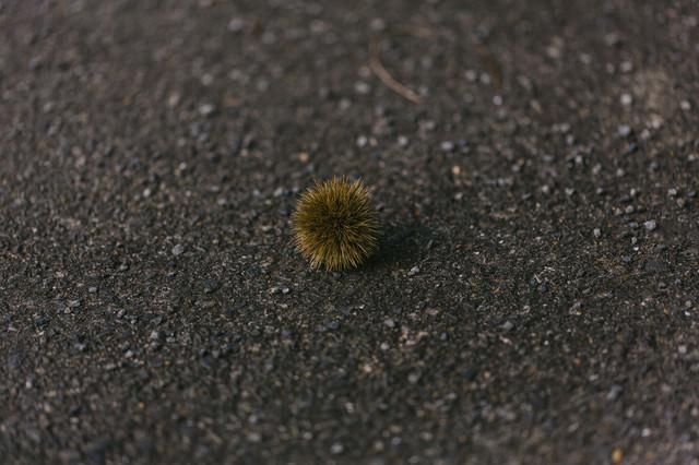 路上に転がった栗の写真
