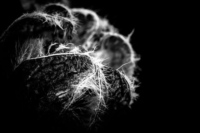 サボテンの繊維(モノクロ)の写真