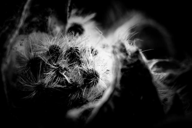 サボテンの棘(モノクロ)の写真