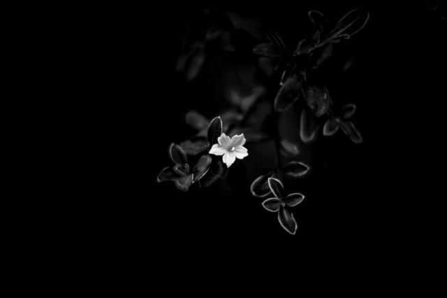 白い花(モノクロ)の写真