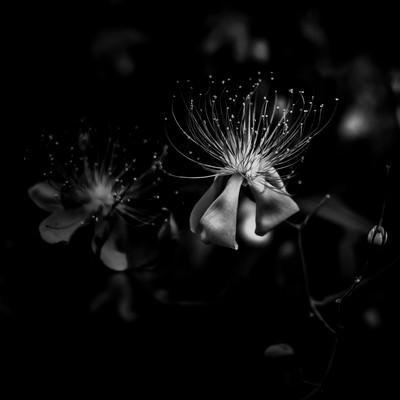 花糸(モノクロ)の写真