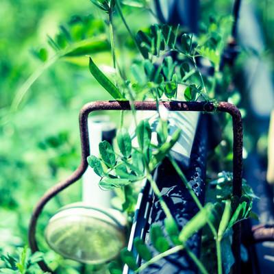 古い自転車に纏わる蔦の写真