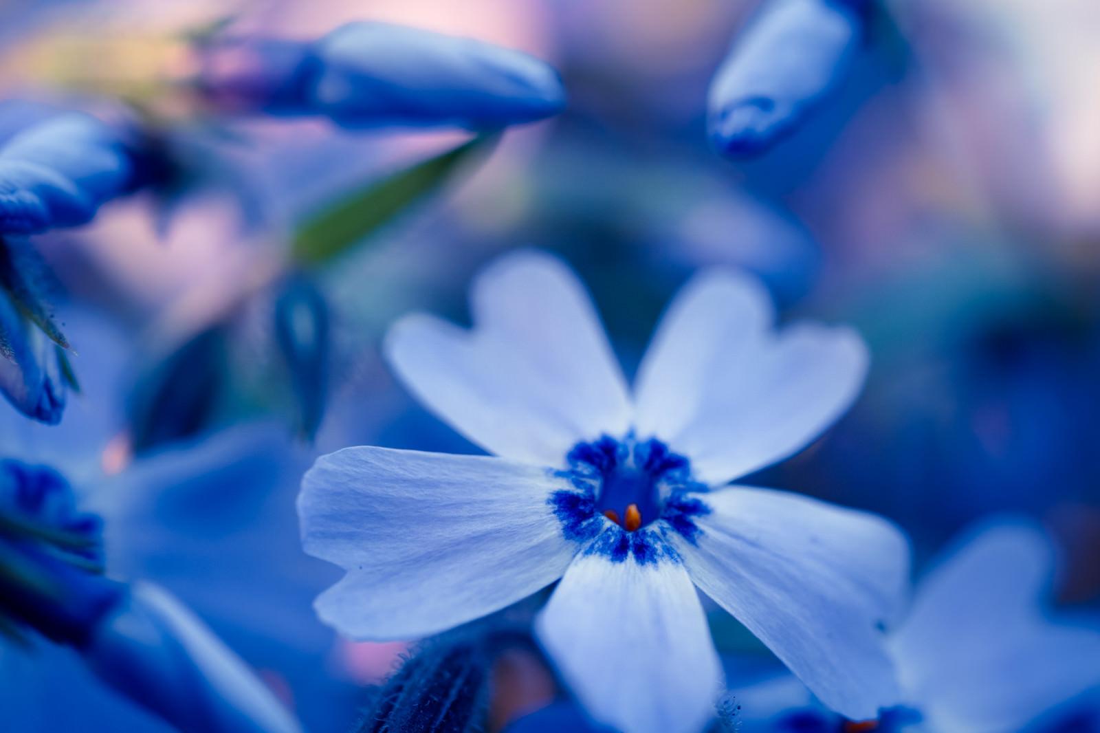 「青い秋桜青い秋桜」のフリー写真素材を拡大
