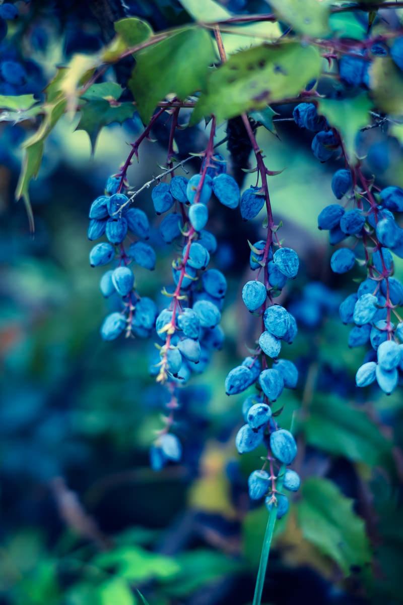 「青い実」の写真