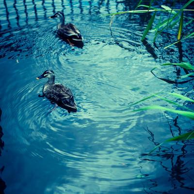 池を泳ぐ二匹の鴨の写真