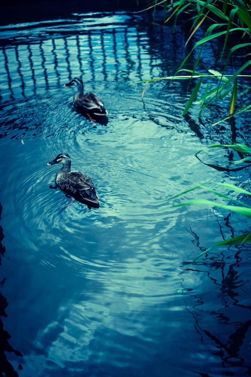 「池を泳ぐ二匹の鴨」の写真