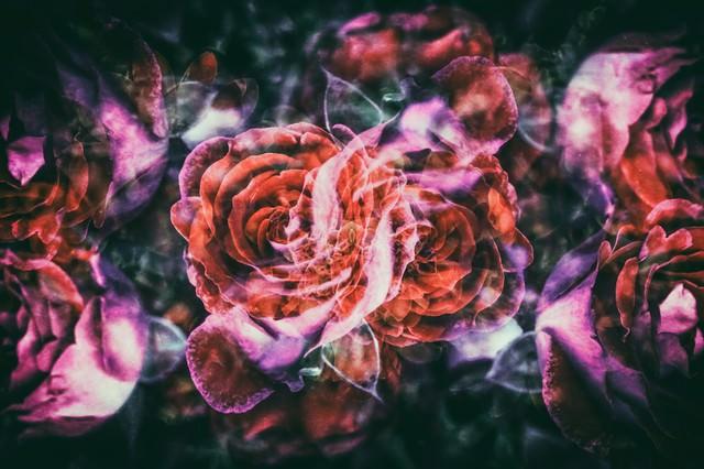 ノスタルジックな薔薇の写真