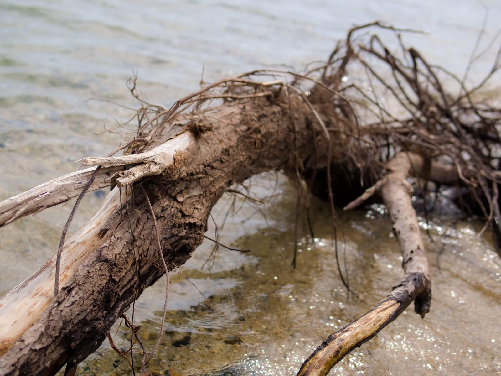 「琵琶湖の岸に流れ着いた折れた木」の写真