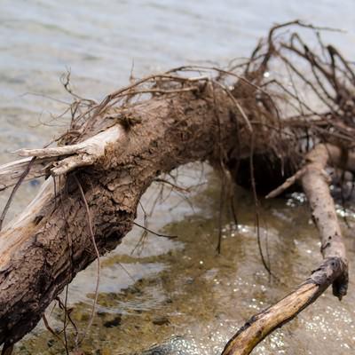 「琵琶湖の岸に流れ着いた折れた木」の写真素材