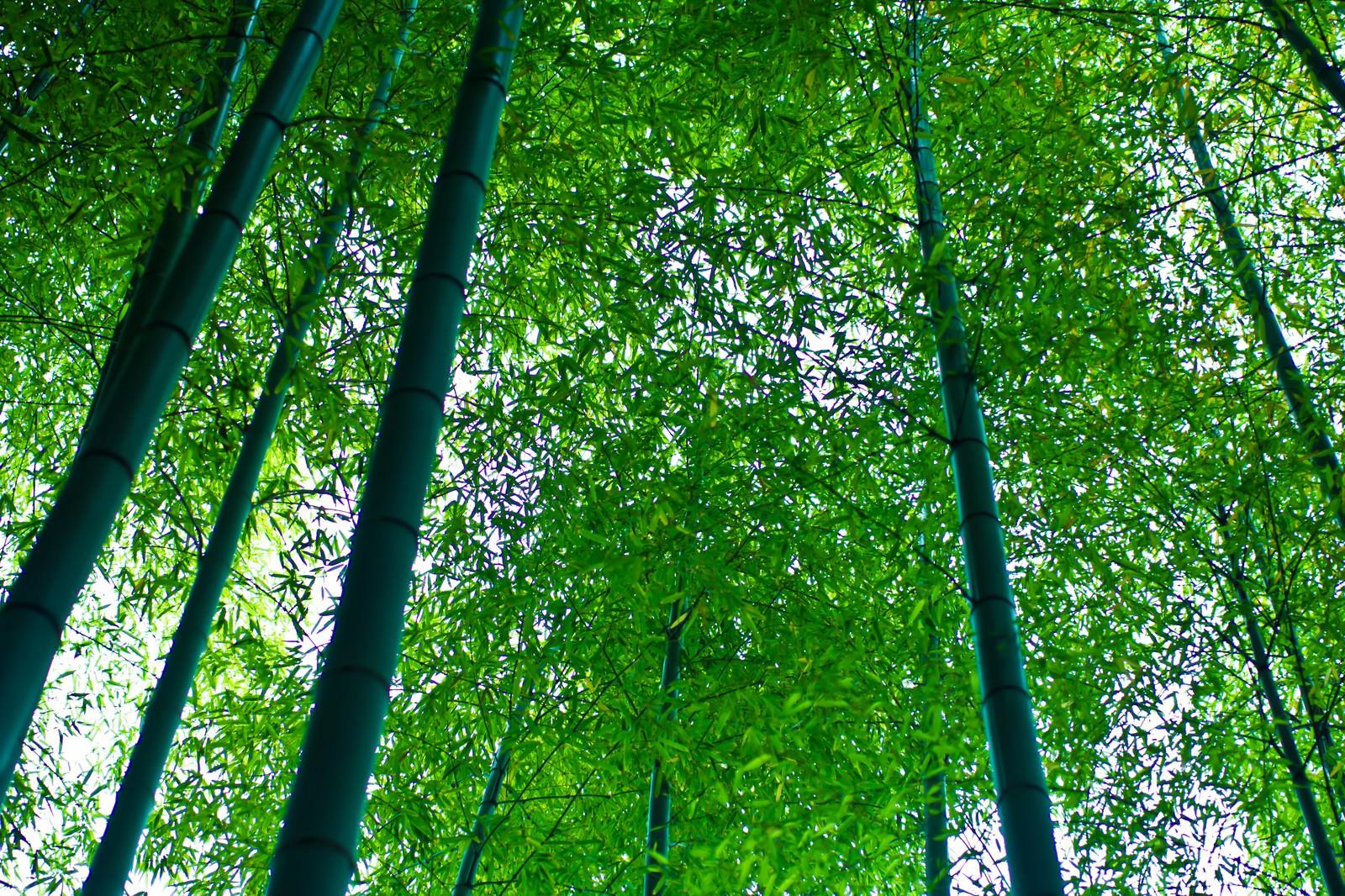 「青々した竹林」の写真