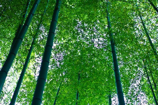 青々した竹林の写真