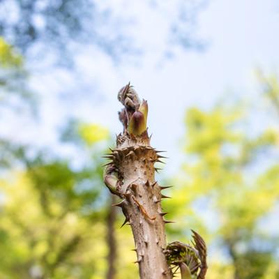 山に自生するタラの芽の写真