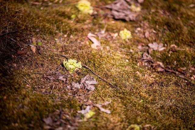 落ち葉とふきのとうの写真