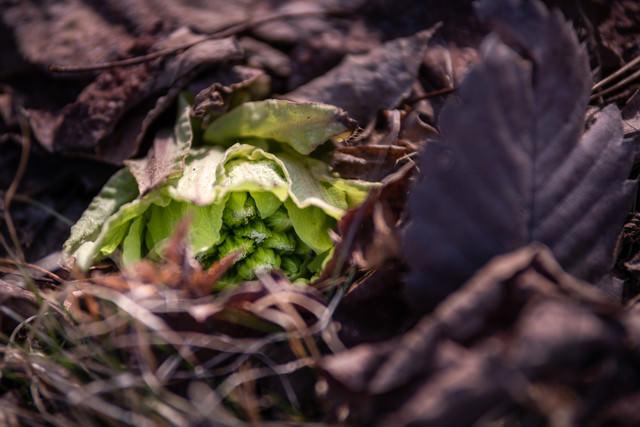 落ち葉の中から顔を出す蕗の薹の写真