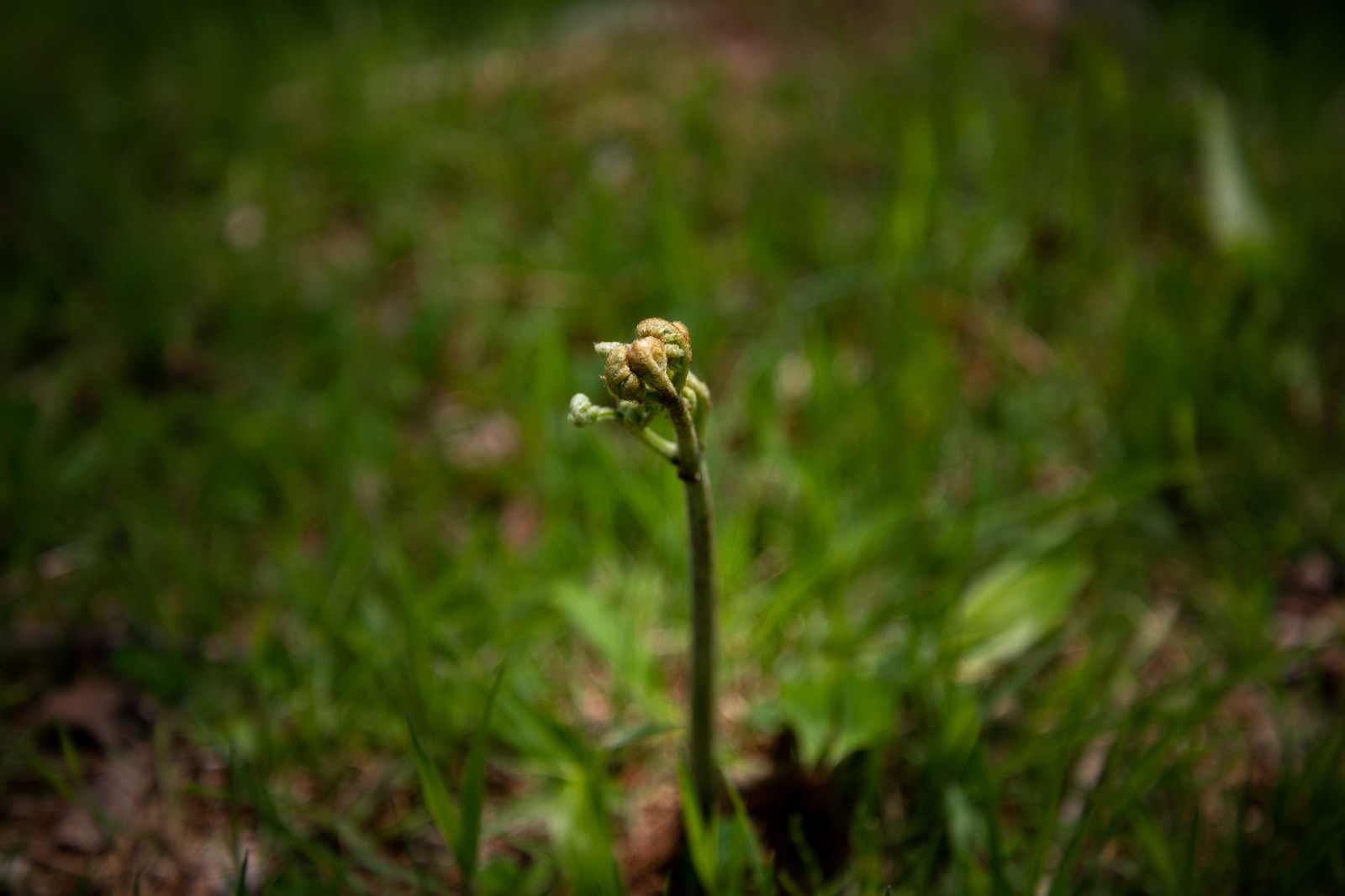 「ワラビ(シダ植物)」の写真