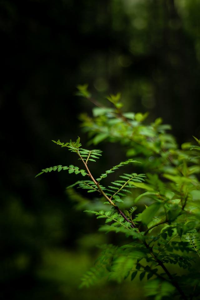 山椒の葉の写真