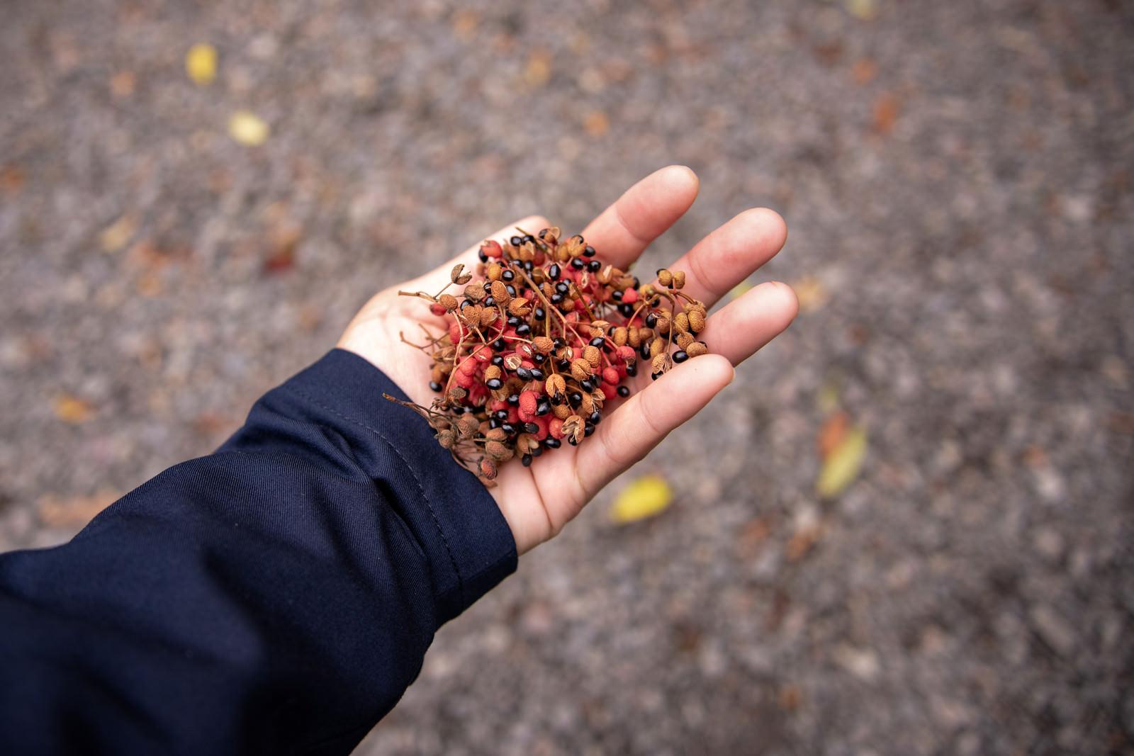 「摘んだばかりの山椒の実」の写真