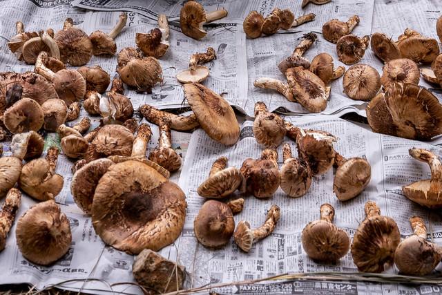 大小様々な収穫されたばかりの松茸の写真