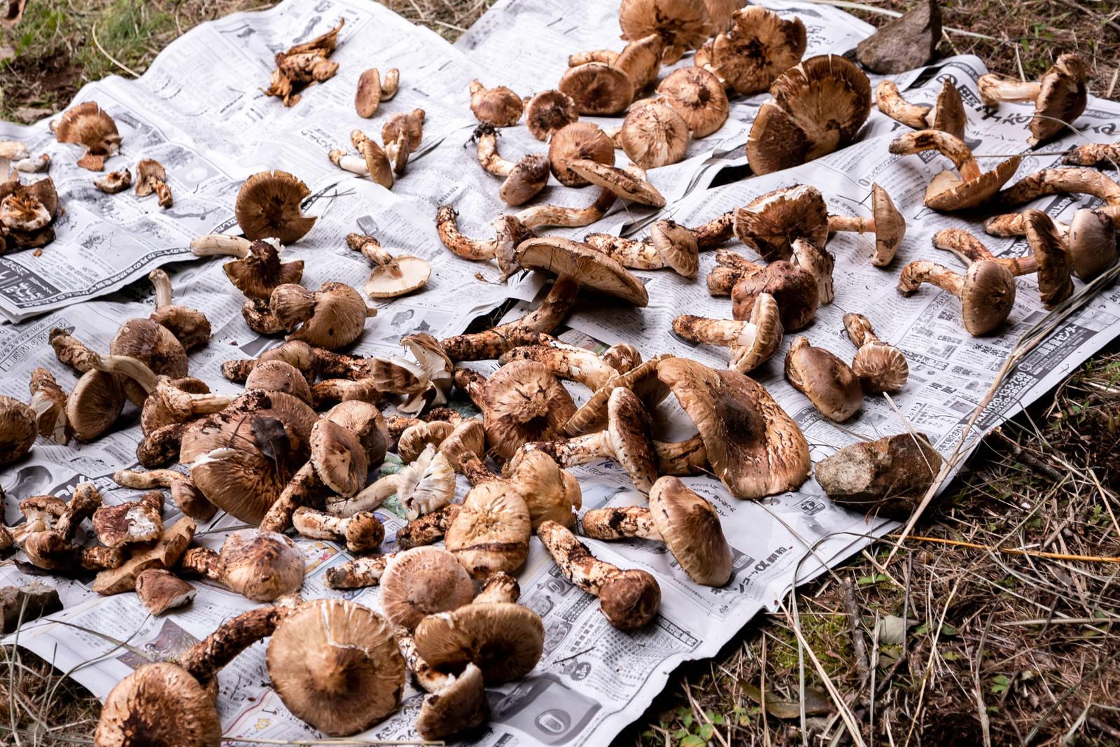 「新聞紙の上に無造作に並べられた大中小の松茸」の写真