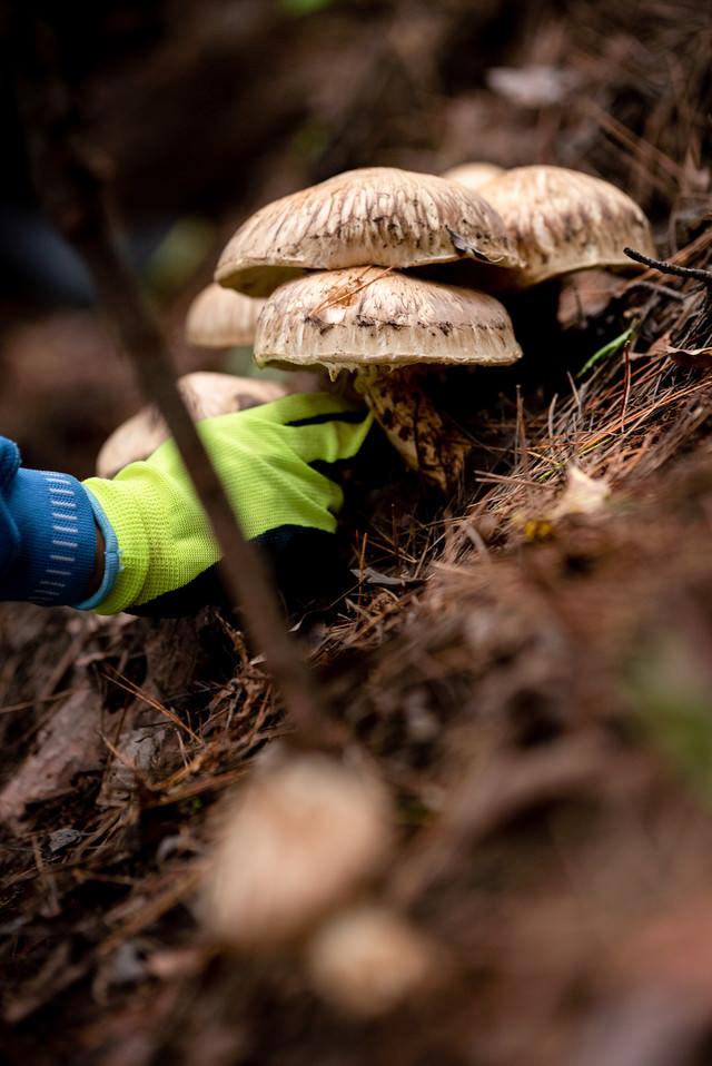 松茸を収穫する人(信州武石)の写真