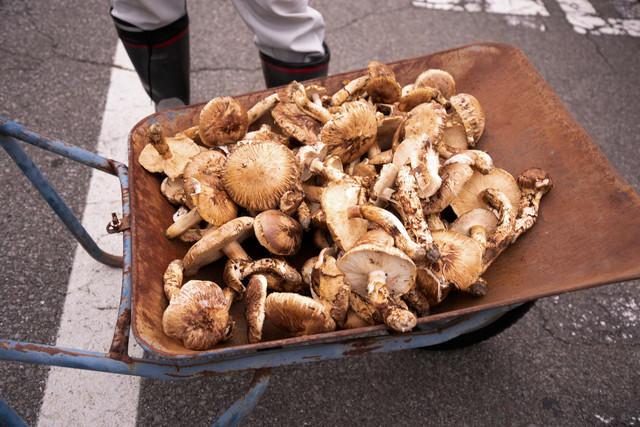 一輪車に乗せられた収穫されたばかりの松茸の写真