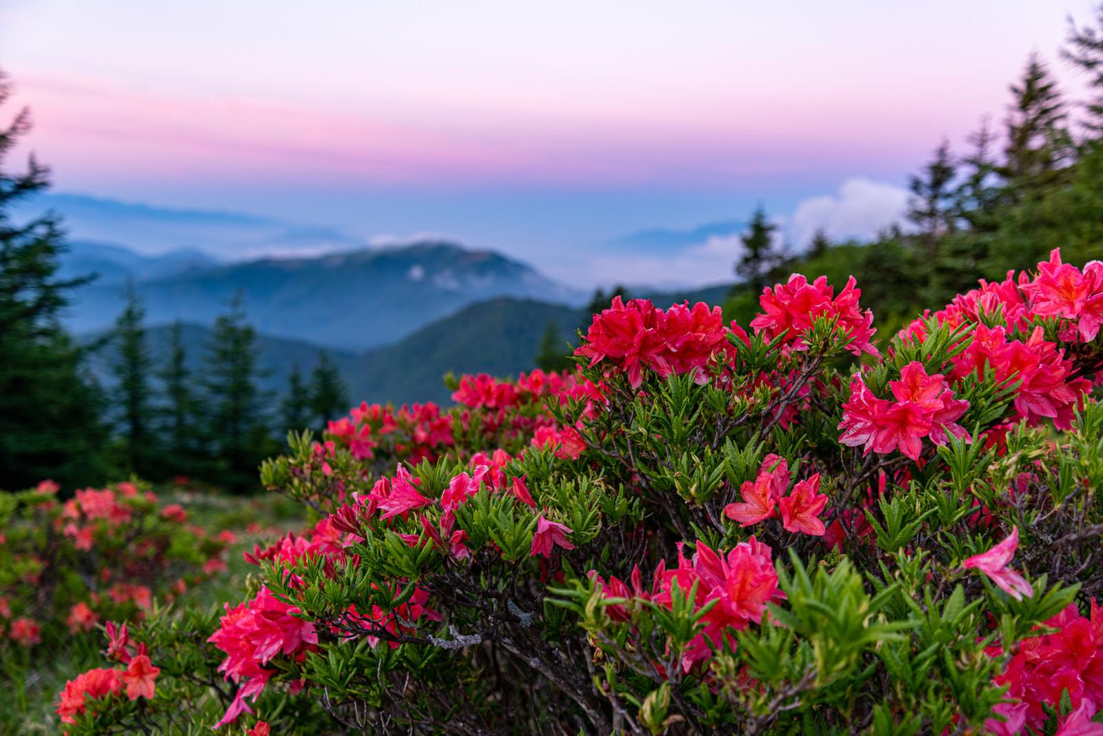 「朝焼けと山ツツジ」の写真