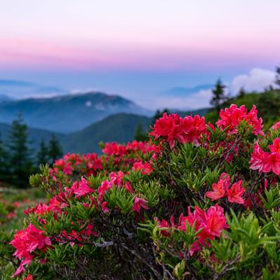 朝焼けと山ツツジの写真