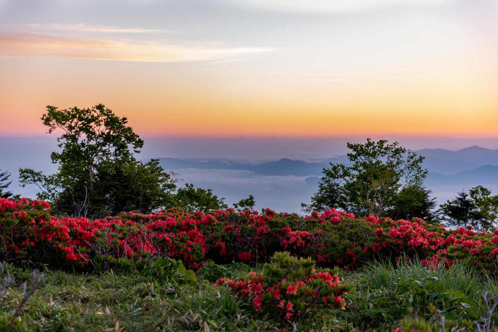 「群生する山ツツジと朝焼け」の写真