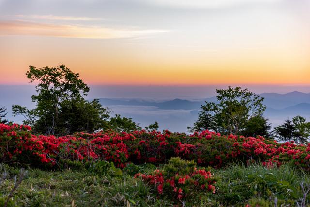 群生する山ツツジと朝焼けの写真