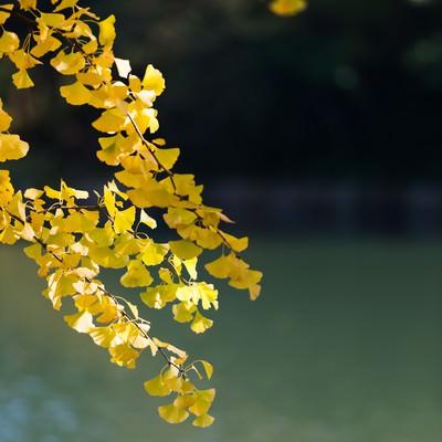 黄葉した銀杏の葉と池の写真