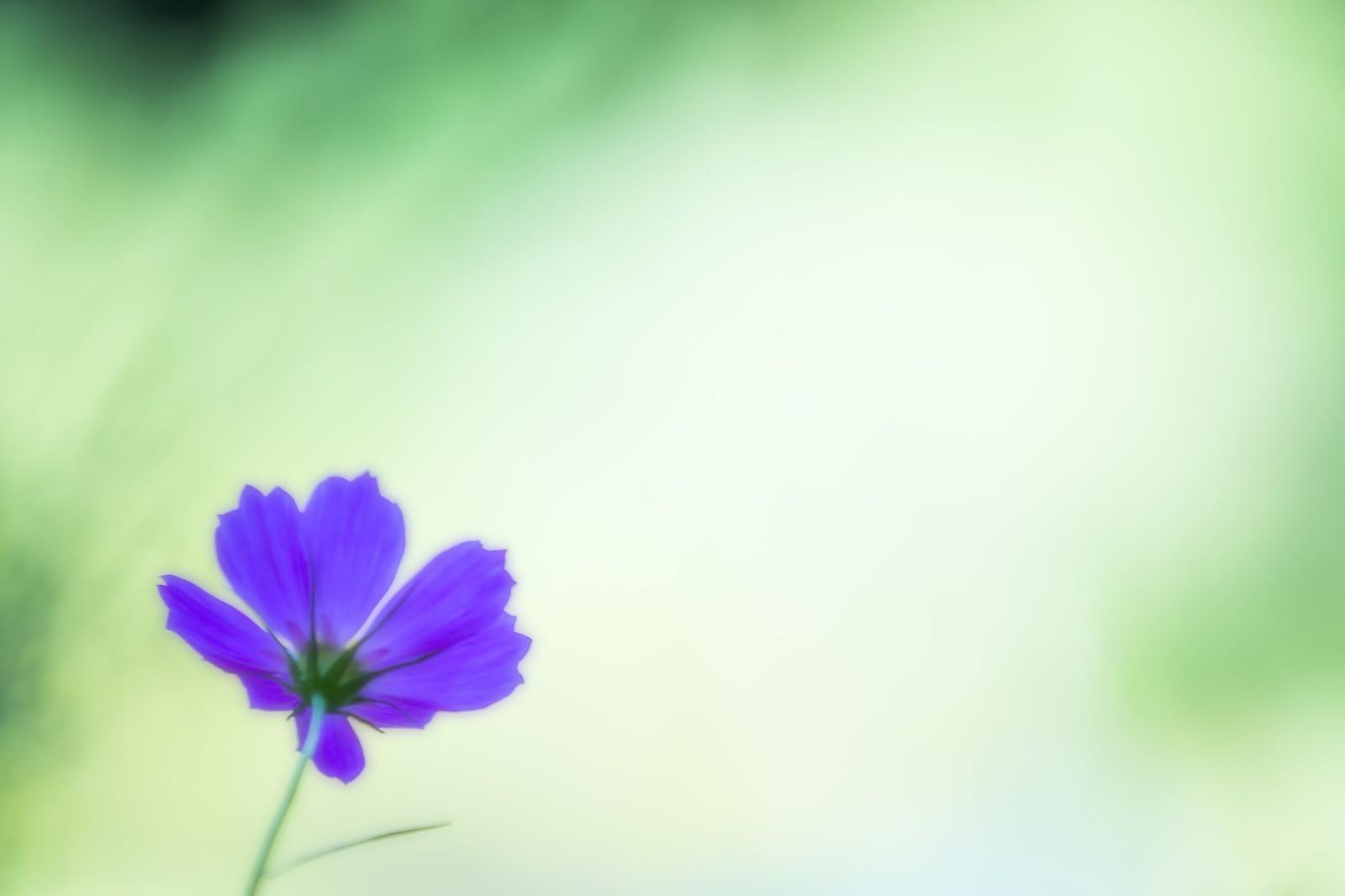 「紫色のコスモス」の写真